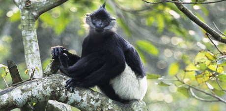 Langur-In-Cuc-Phuong-National-Park