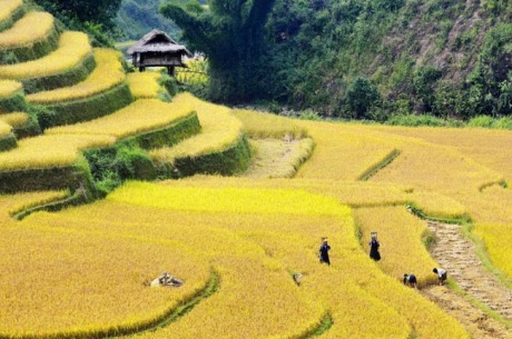 sapa terrace rice fields