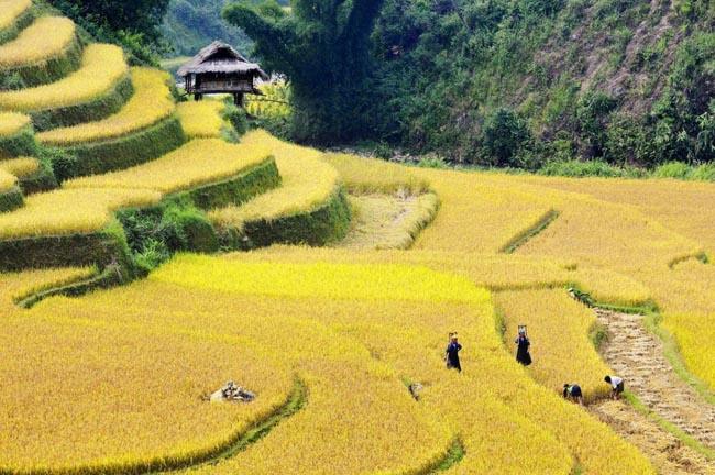 sapa terrace rice fields
